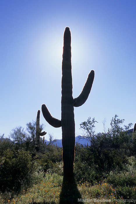 Silhouetted saguaro (Carnegiea gigantea), Organ Pipe Cactus National Monument, Arizona