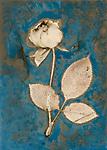 Lumen Print of Rose with Cyanotype