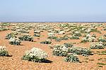 Crambe maritima plant, Sea Kale, in flower on beach at Shingle Street, Suffolk, England, UK