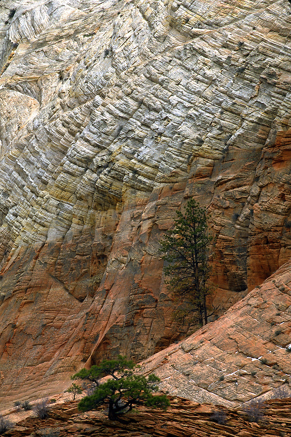 Pine trees growing out of the checkerboard mesa in Zion National Park. Utah, Zion National Park.