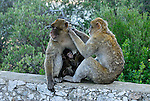 Adult Barbary Macaques sitting on stone wall,preening fur with baby nestled in between. Rock of Gibraltar