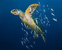 Hawksbill sea turtle, Eretmochelys imbricata, cigar minnows, bait fish, symbiotic relationship, West Palm Beach, Florida, USA, Atlantic Ocean, Hawksbill sea turtle swimming with a school of bait fish