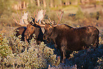 Two bull moose in rut. Roosevelt National Forest, Colorado.