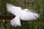 Ringneck dove, Fes, Morocco