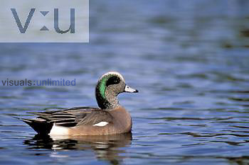 American Widgeon drake on water ,Anas americana,, North America.