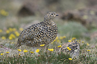 White-tailed Ptarmigan,Lagopus leucurus,Rocky Mountain National Park, Colorado, USA