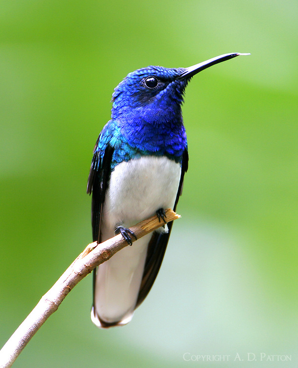 Male white-necked jacobin