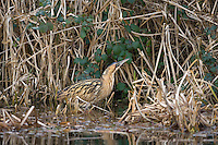 Bittern Botaurus stellaris L 70-80cm. Shy and superbly camouflaged, hence hard to see in reedbeds. Posture is usually hunched but 'skypoints' and sways if alarmed. Bill is dagger-like and legs and feet are long and powerful. Superficially owl-like in flight. Sexes are similar. Adult has brown plumage with intricate dark markings. Juvenile is similar but crown and 'moustache' are paler. Voice Territorial males 'boom' in spring. Status Favours large reedbeds with shallow water for feeding. Outside breeding season, sometimes seen in smaller wetlands.