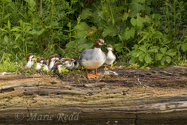 Common Merganser (Mergus merganser) female with ducklings, perched on log. New York, USA
