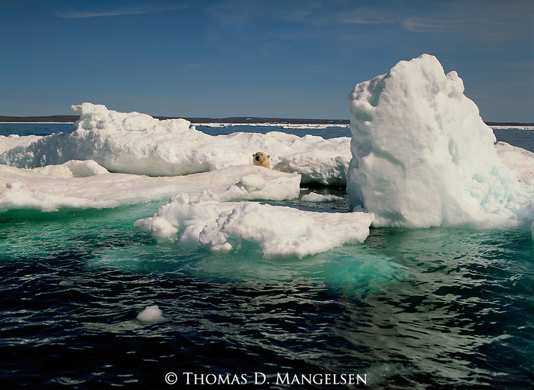 A polar bear looks up from between ice floes in Canada.