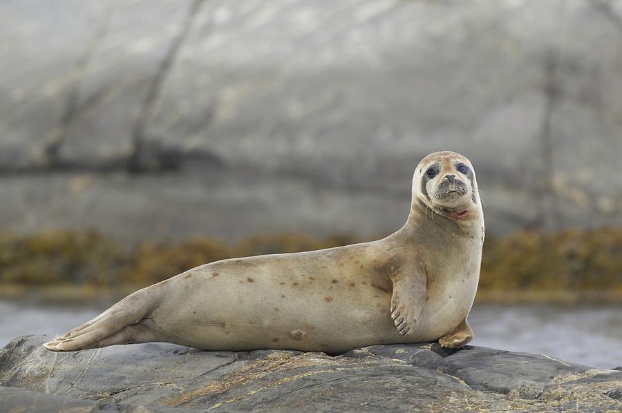 Harbor seal, Phoca vitullina, Bohuslan, Sweden