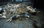 The slaughtered herd of Robert Hext. The herd  was slaughtered  despite the fact that it was not contiguous.  The carcasses have been lying in his  yard for over  a week.Chulmleigh, Devon.