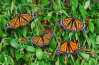 Monarch (r.) (Danaus plexippus) & Viceroy (Limenitis archippus) butterflies basking on candy corn vines (Manettia inflata), summer, North America.  Viceroy is Mullerian mimic: looks like Monarch & both distasteful to predators.