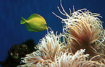 Yellow Tang, zebrasoma flavescens, saltwater fish, acanthuridae, aquarium fish, Pacific Ocean, Hawaii, Animal, wild animals, domestic animals,  Fine Art Photography, Ronald T. Bennett (c) Fine Art Photography by Ron Bennett, Fine Art, Fine Art photography, Art Photography, Copyright RonBennettPhotography.com ©