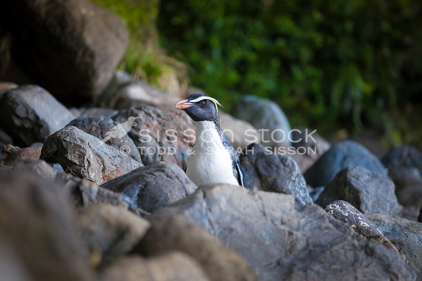 Fiordland Crested Penguin standing on rocky beach South Westland Coast, South Island, New Zealand - stock photo, canvas, fine art print