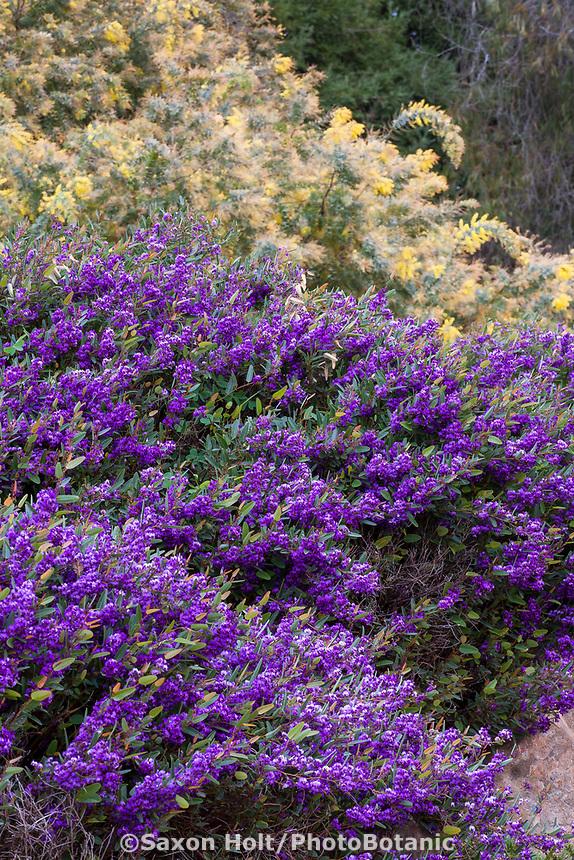 Hardenbergia violacea 'Mini Haha' (False Sarsaparilla) flowering in University of California Santa Cruz Botanic Garden