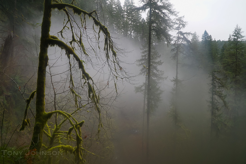 Fog holds in the trees of Silver Falls State Park, Oregon