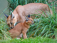 "Caracal (Caracal caracal) mom cleaning kitten.  The word ""Caracal"" comes from the Turkish word ""karakulak"" which means ""black ear.""  Caracals are found in Africa through Central Asia and India."