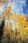Aspen trees and blue autumn sky in Colorado near Kenosha Pass