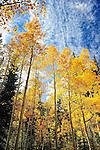 Aspen trees and blue autumn sky in Colorado near Kenosha Pass