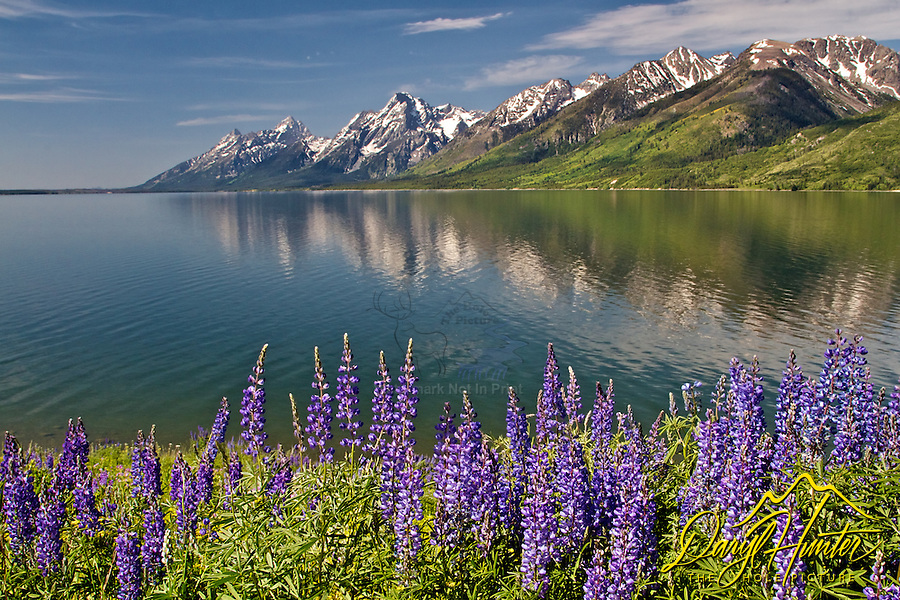 Lupine, Jackson Lake, Grand Tetons, Grand Teton National Park