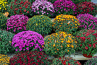 Variety of healthy mums for sale, Deleware, USA.
