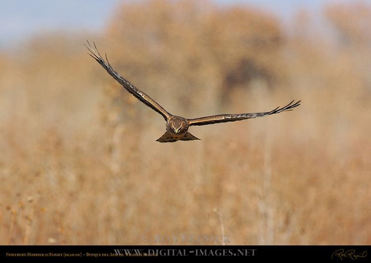 Northern Harrier in Flight (head-on), Bosque del Apache Wildlife Refuge, New Mexico