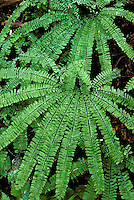 Maidenhair Fern, Adiantum pedatum, Olympic National Park, Washington