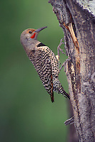 Northern Flicker - Colaptes auratus