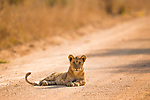 African Lion (Panthera leo) six month old male cub on road, Kafue National Park, Zambia