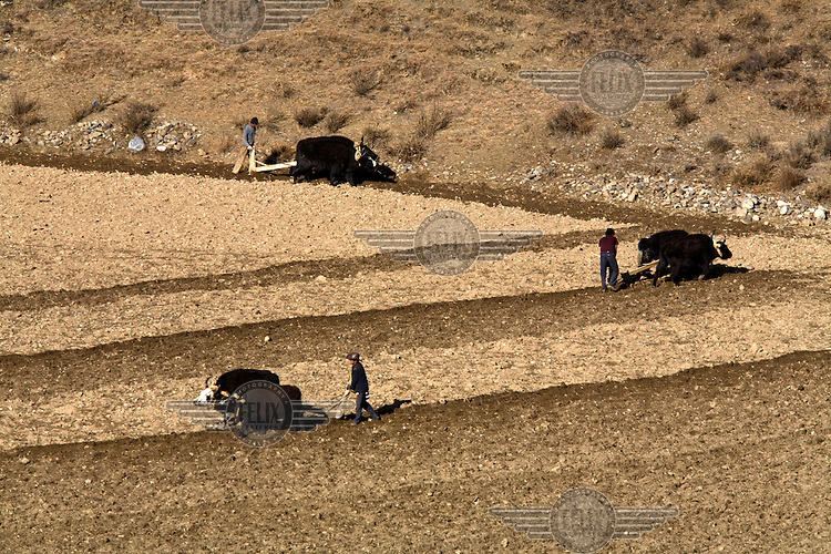 Khampa farmers plough land with their yak in the west of the province.