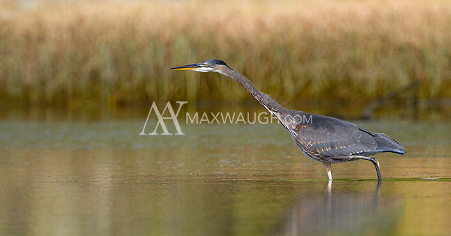 A great blue heron hunts in the tidal flats off Vancouver Island.