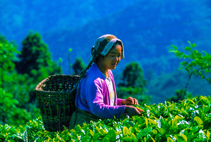 Woman picking tea leaves, Darjeeling, West Bengal, India