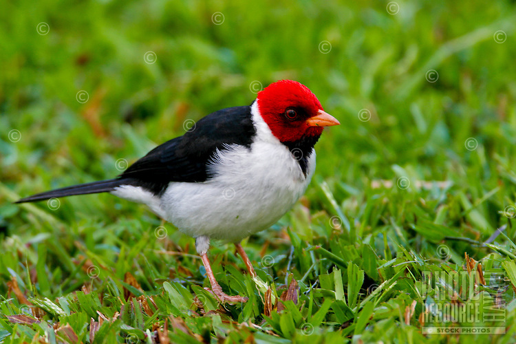 Yellow-Billed Cardinal,(Paroaria capitata) Introduced from South America.  Found only on the Big Island