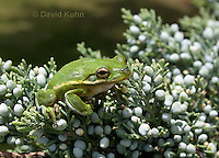 0605-0921  American Green Treefrog Climbing Tree at Outer Banks North Carolina, Hyla cinerea  © David Kuhn/Dwight Kuhn Photography