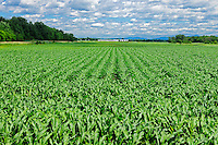 Corn field<br /> St. Alexandre<br /> Quebec<br /> Canada