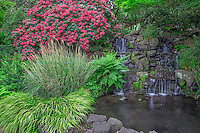 ORPTC_D202 - USA, Oregon, Portland, Crystal Springs Rhododendron Garden, Light red blossoms of rhododendrons in bloom alongside lush vegetation and waterfall.