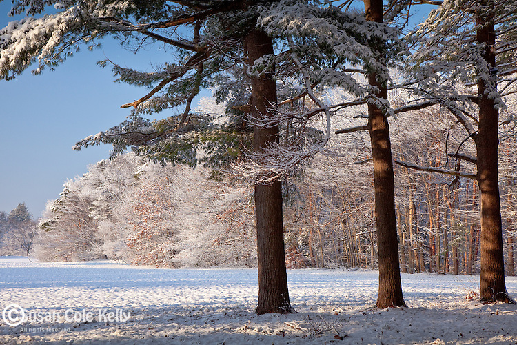 Fresh snow on White pines in Maudsley State Park, Newburyport, MA, USA