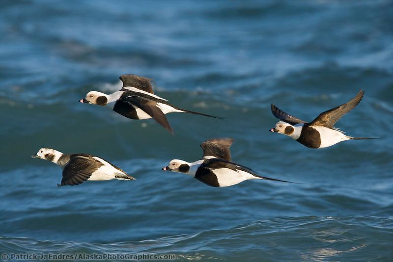 DIGITAL COMPOSITE: Long-tailed ducks, Kachemak Bay, Homer, Alaska.