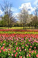 France, Loir-et-Cher (41), Cheverny, château et jardin de Cheverny en avril, le jardin de tulipes