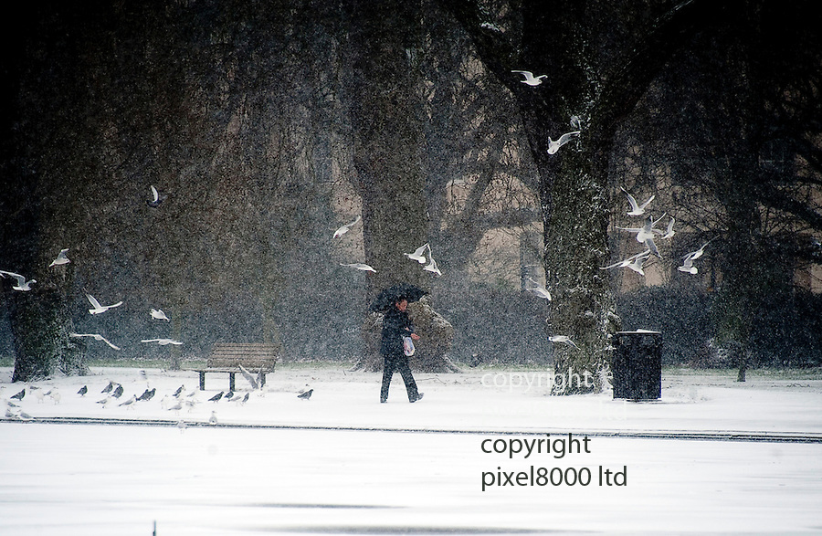 18.1.13 - rescan.Snow hits london.Man feeding the birds in Regents Park today - then he slips over as the birds swarm (flock) towards and around him for the food..He slips and drops his umbrella......Pic by Gavin Rodgers/Pixel 8000 Ltd