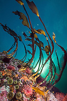 TA0829-D. kelp atop wall in current-swept passage, also with Green Sea Urchins (Stronglyocentrotus droebachiensis), Red Sea Urchins (Stronglyocentrotus franciscanus), and a Leather Sea Star (Dermasterias imbricata). British Columbia, Canada, Pacific Ocean.<br /> Photo Copyright &copy; Brandon Cole. All rights reserved worldwide.  www.brandoncole.com