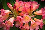 Vashon Island, WA<br /> Rhododendron 'Unique Marmalade' blossom detail in a Pacific Northwest garden
