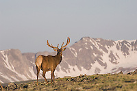 Elk, Wapiti, Cervus elaphus,Rocky Mountain National Park, Colorado, USA, June 2007
