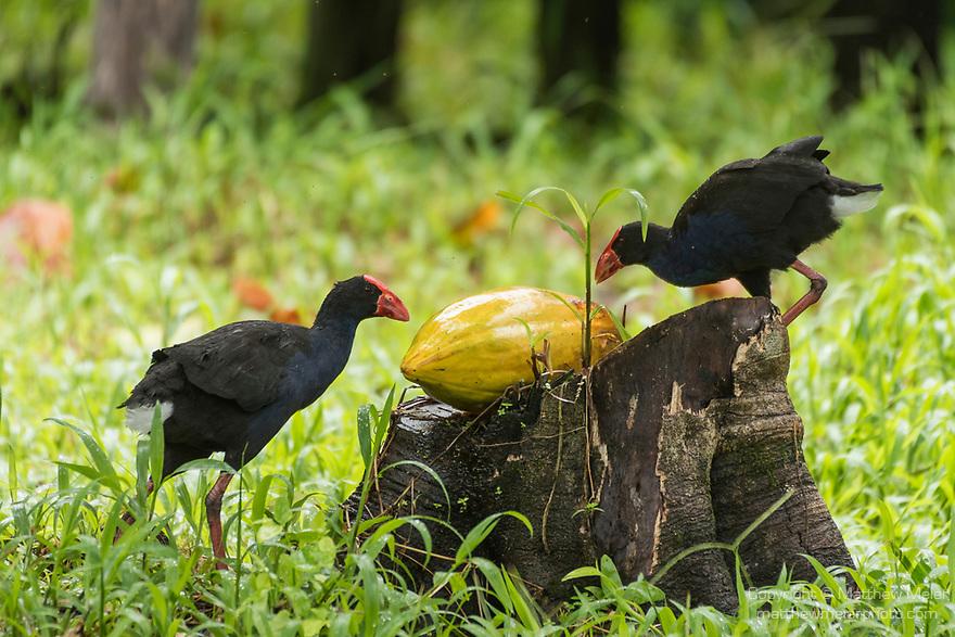Tetepare Island, Solomon Islands; two adult Australasian swamphens (Porphyrio melanotus) feeding on a papaya  which is resting on a tree stump