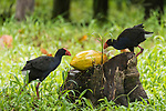 Tetepare Island, Solomon Islands; two adult Australasian swamphens (Porphyrio melanotus) feeding on a papaya  which is resting on a tree stump