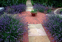 Herb Garden of English lavender (Lavandula angustifolia) in circular brick patio, in bloom