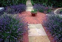 Herb Garden of English lavender (Lavandula angustifolia) in circular brick patio, in bloom