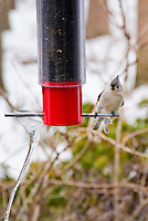 Tufted titmouse Bird on bird feeder in winter snow with hanging icicle ice