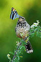 A cactus wren holding a butterfly
